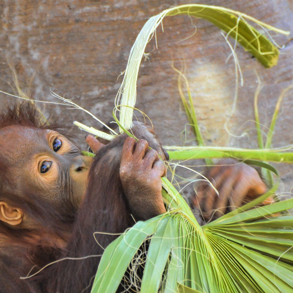 orangutan-3819400_1920